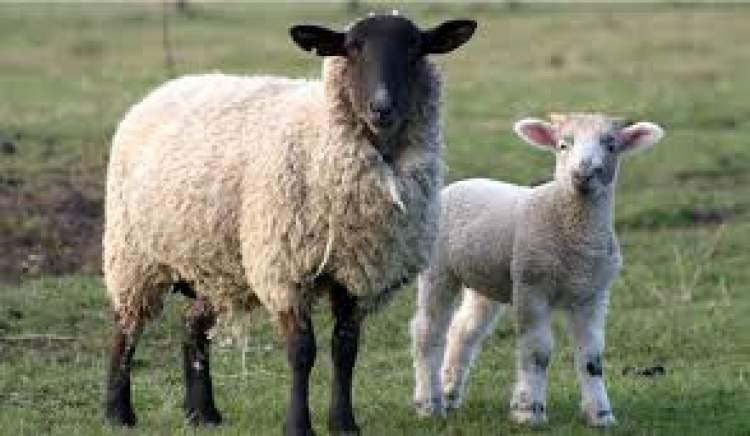 adaklık koyun kesildiğini görmek