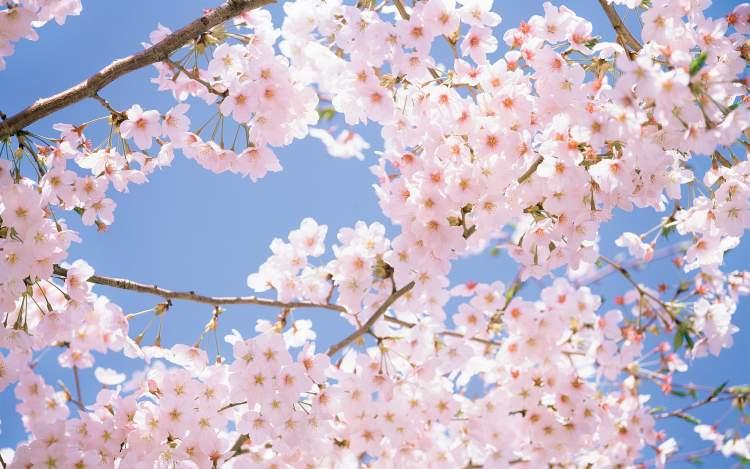 ağacın çiçek açtığını görmek