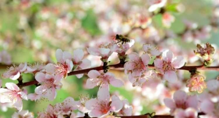 ağaçların çiçek açması