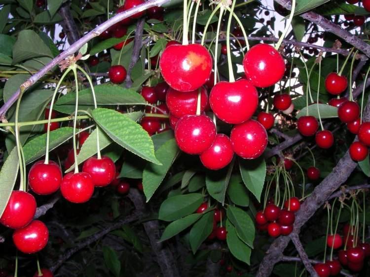 ağaçta domates görmek