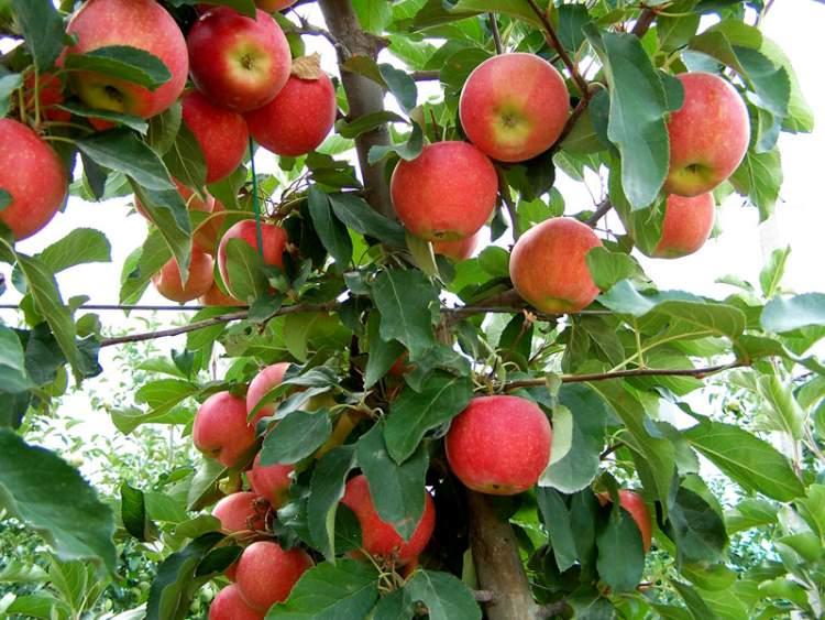ağaçtan elma koparıp yemek