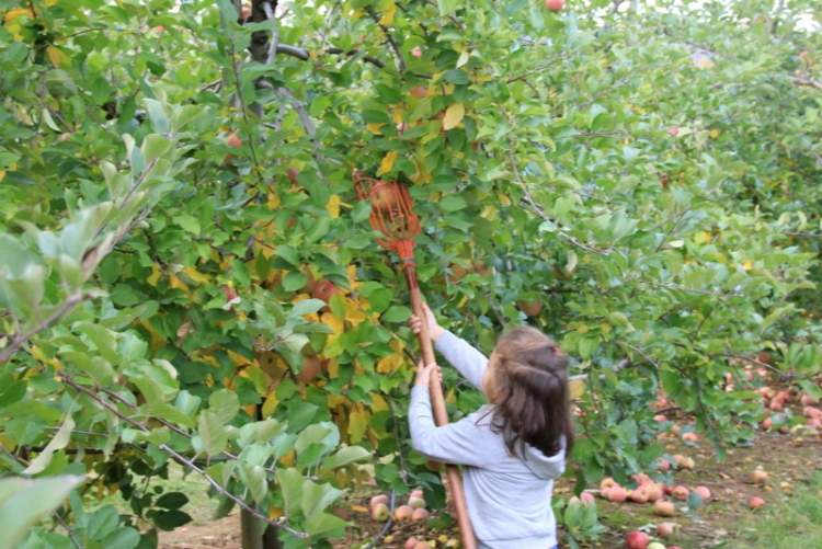 ağaçtan elma koparmak