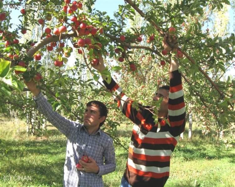 Rüyada Ağaçtan Elma Toplamak