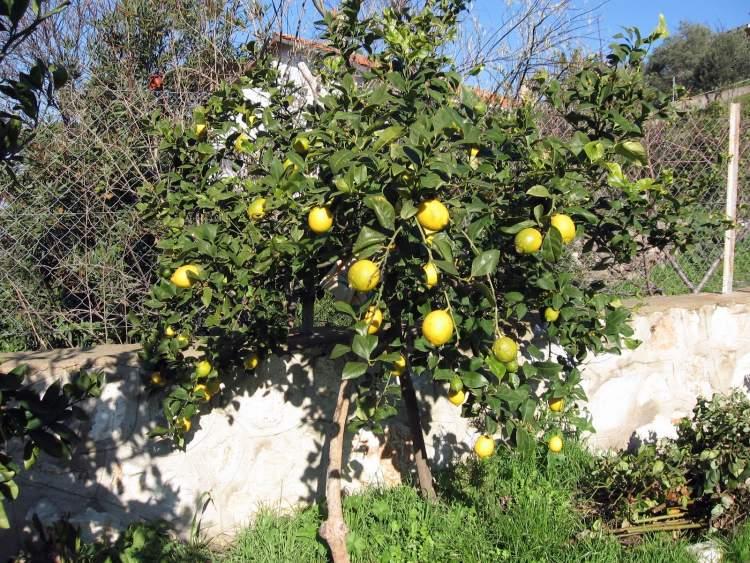 ağaçtan limon toplamak