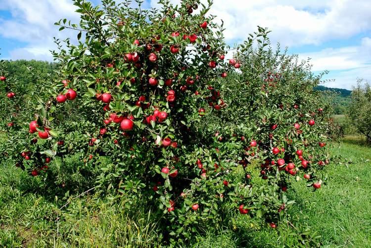ağaçtan meyve yemek
