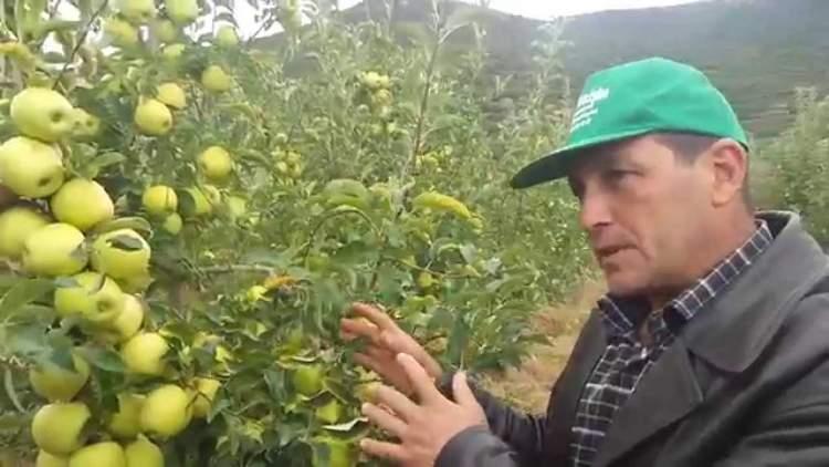 ağaçtan yeşil elma koparmak