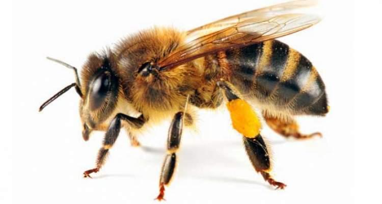 arı yakalamak