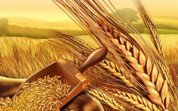 arpa buğday görmek