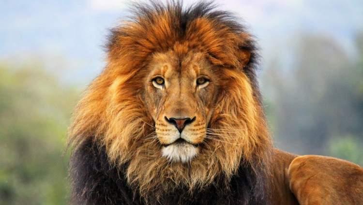 aslan saldırısı