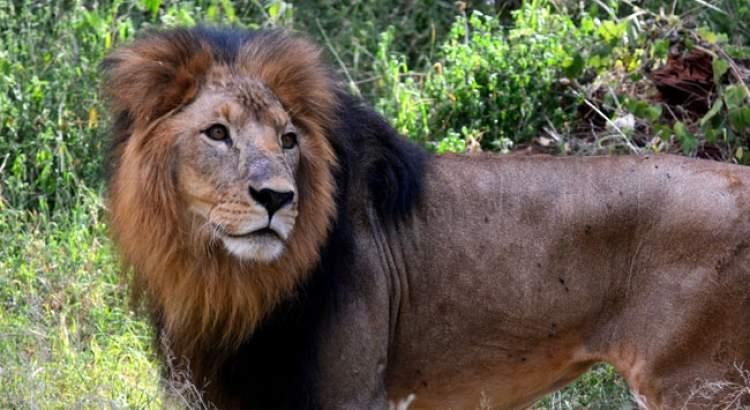 aslan saldırısına uğramak