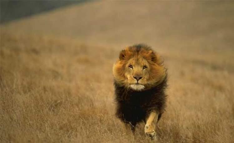 aslan tarafından kovalanmak