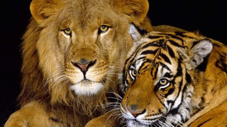 aslan ve kaplan görmek