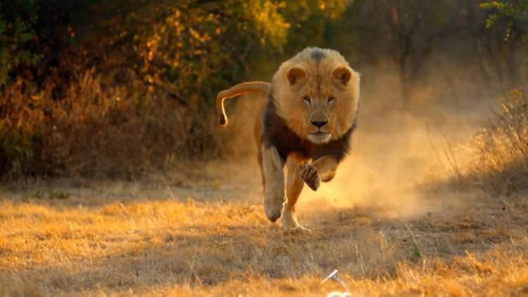 aslandan korkmak