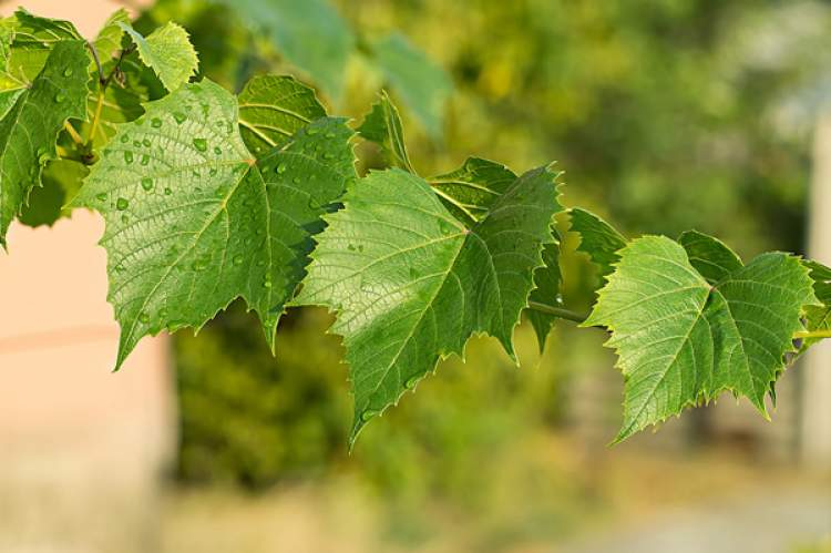 asma yaprağı sarmak