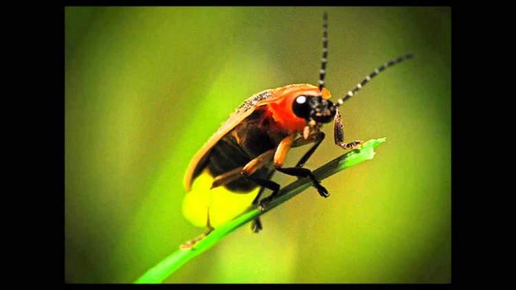ateşböceği görmek