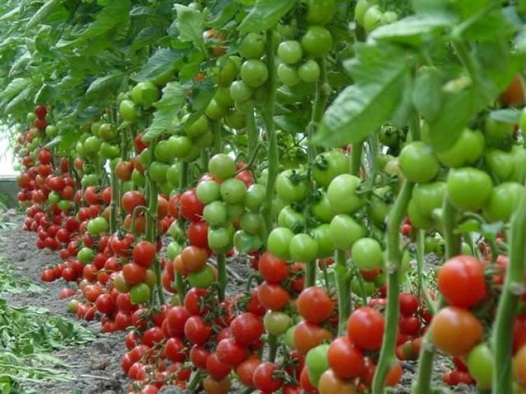 bahçede domates görmek
