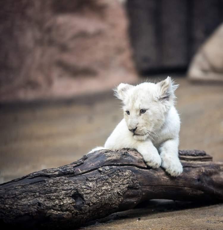 beyaz aslan görmek
