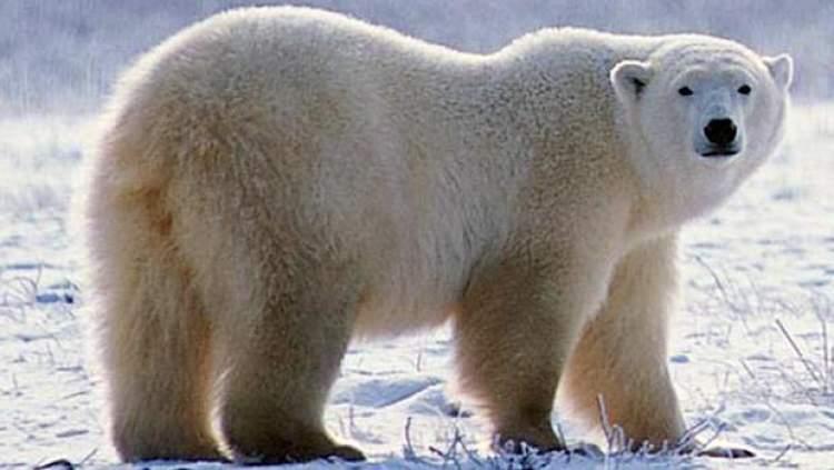 beyaz ayı görmek