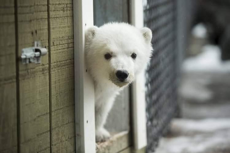 beyaz ayı yavrusu görmek