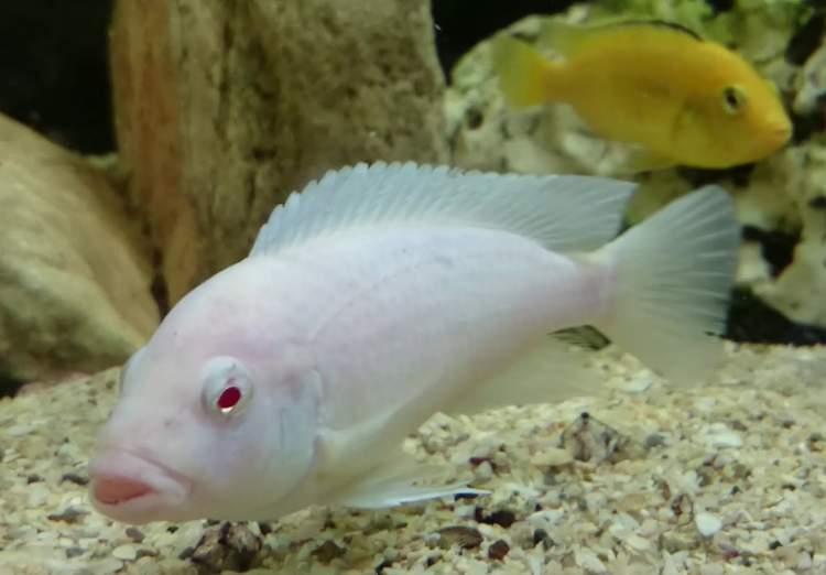 beyaz balık görmek