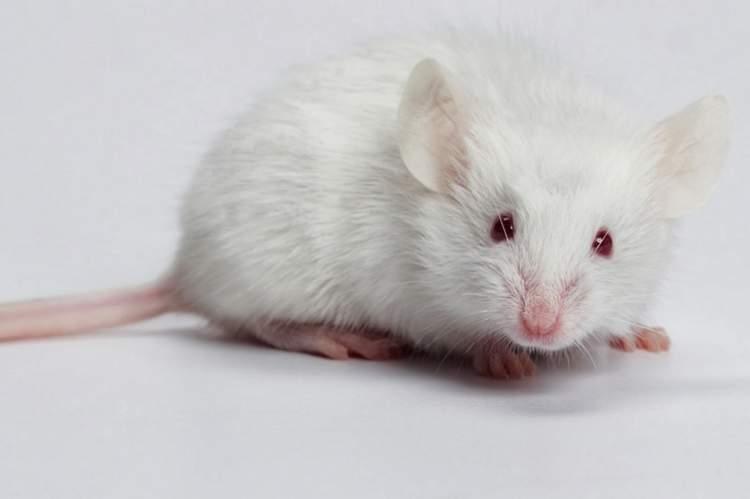 beyaz fare öldürmek