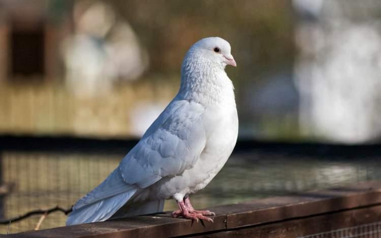 beyaz güvercin görmek