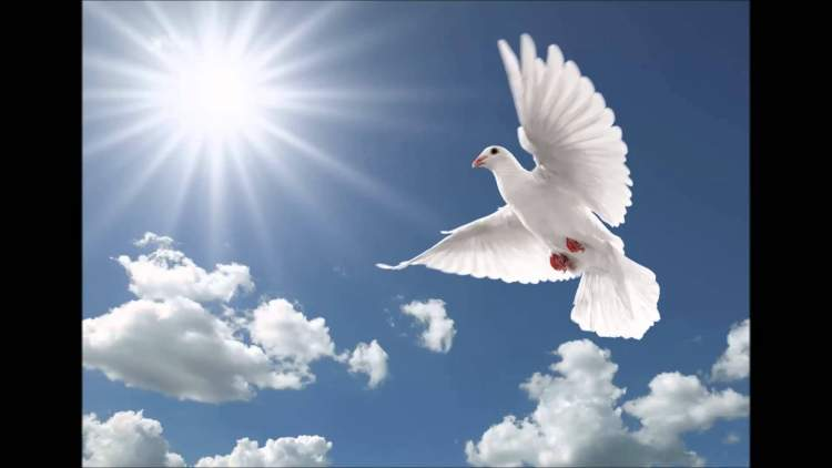 beyaz güvercin tutmak