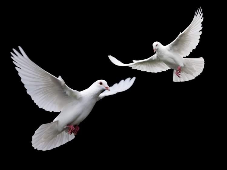 beyaz güvercin yakalamak