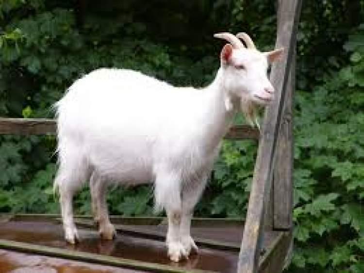 beyaz keçi yavrusu görmek