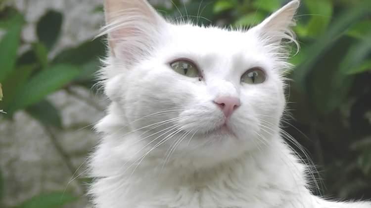 beyaz kedi görmek