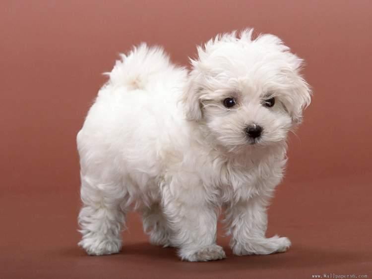 beyaz köpek yavrusu görmek