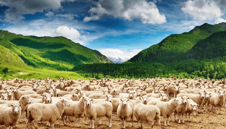 beyaz koyun sürüsü görmek