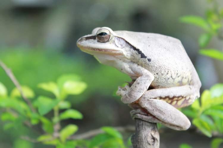 beyaz kurbağa görmek