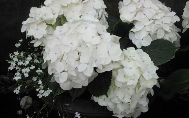 beyaz ortanca çiçeği görmek