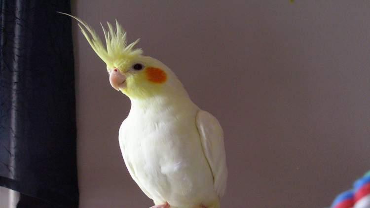 beyaz papağan görmek