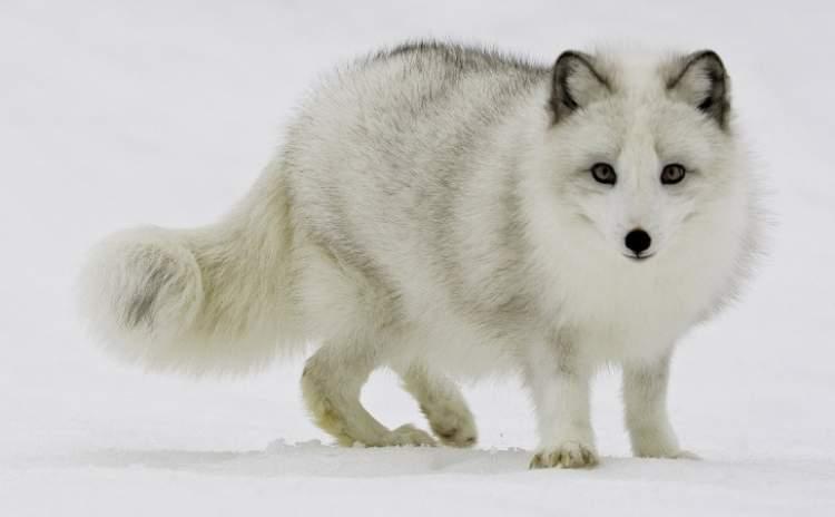 beyaz tilki görmek