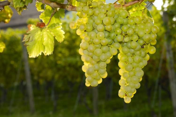 beyaz üzüm görmek
