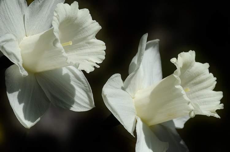 beyaz zambak görmek