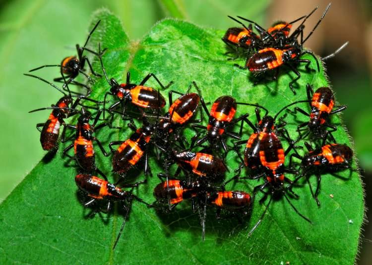 böcek sürüsü görmek