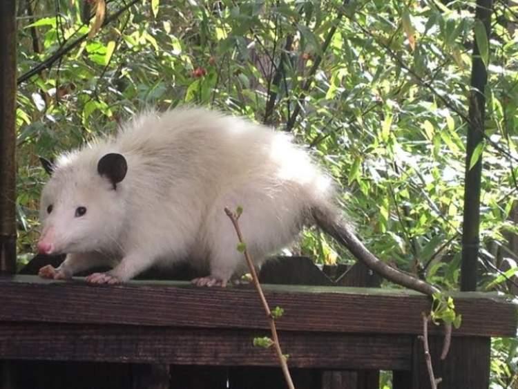 büyük beyaz fare görmek