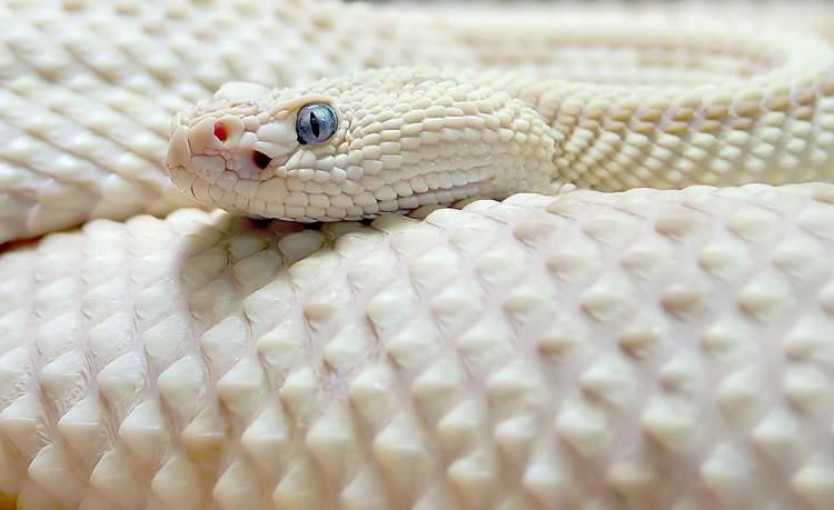 büyük beyaz yılan görmek