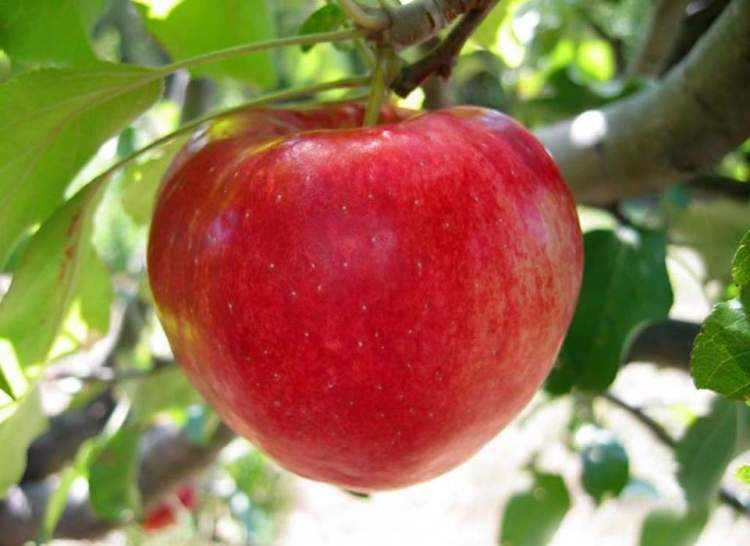 büyük elma görmek