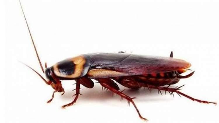 büyük hamam böceği görmek