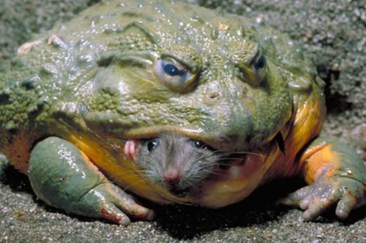 büyük kurbağa görmek