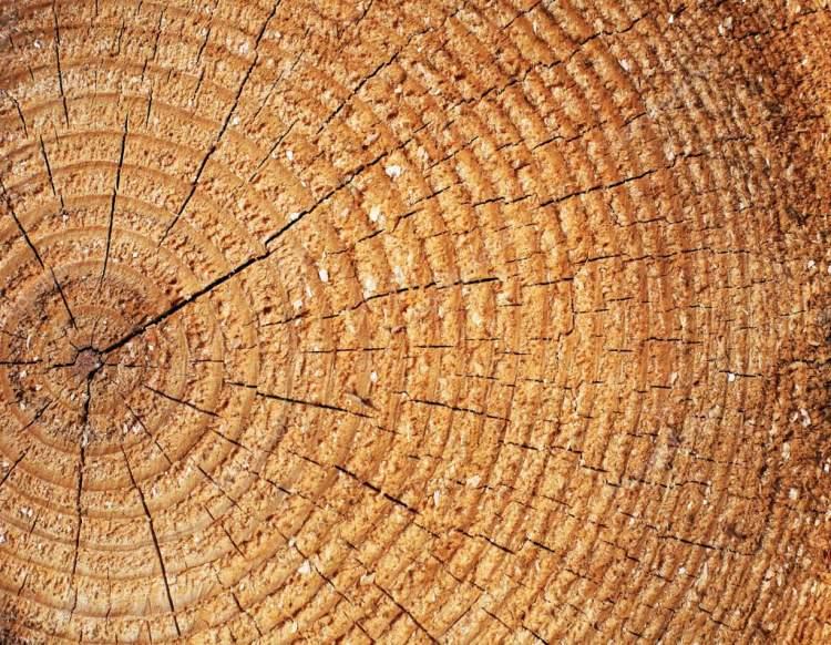 çam ağacı kesmek