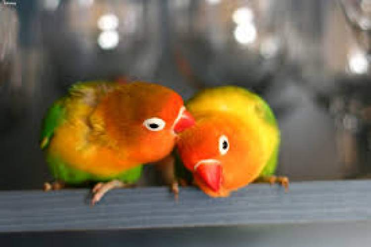 cennet papağanı görmek