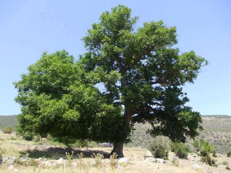 ceviz ağacı görmek