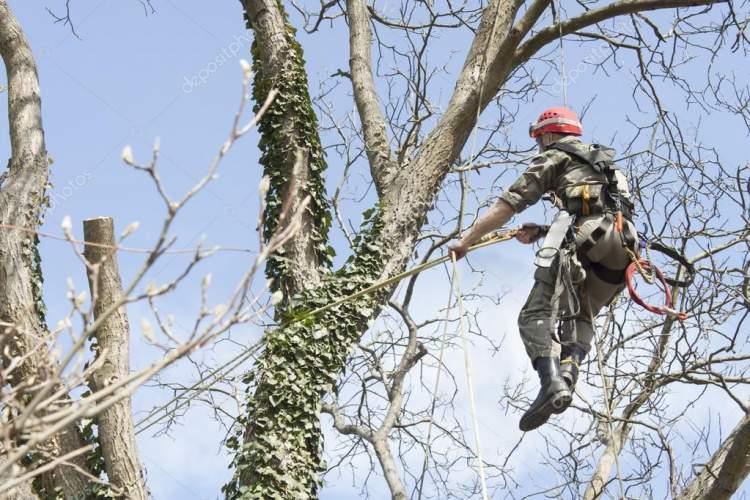 ceviz ağacı kesmek