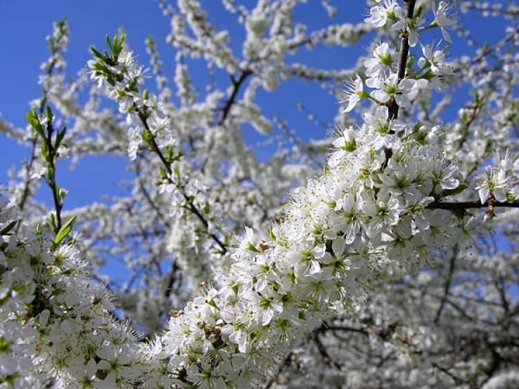 çiçek açmış ağaç