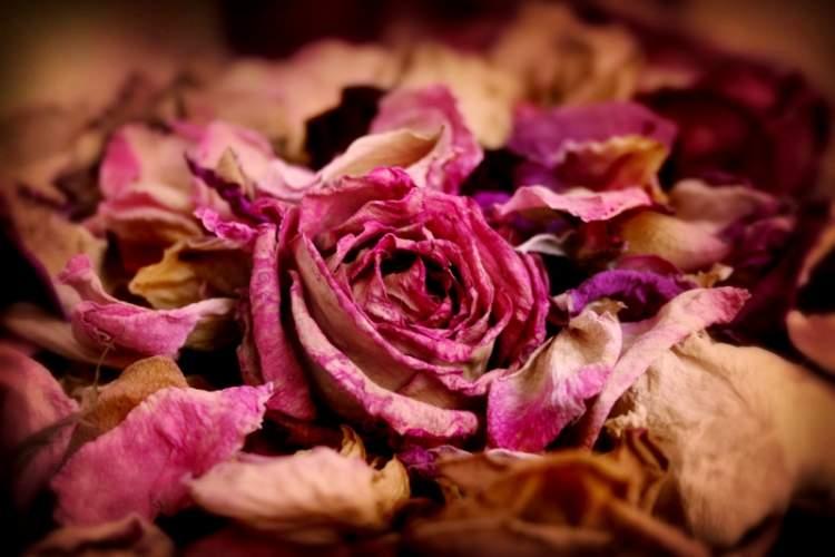 çiçek solması